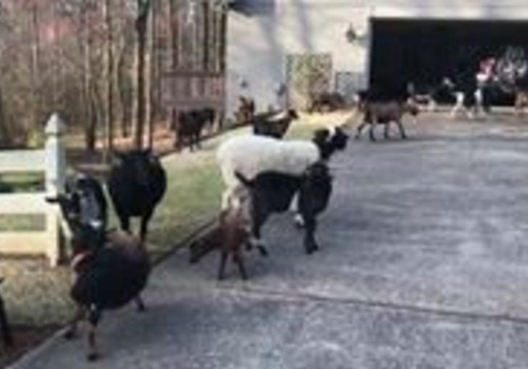 "<p>Police officers in Roswell, Georgia, wrangled a donkey and some goats on March 16 after a homeowner called to complain the lawn service had gone awry.</p><p><a href=""https://www.facebook.com/RoswellGAPolice/videos/10155127130141631/"" target=""_blank"">According to this Facebook post</a>, the homeowner hired the barnyard animals to clean her yard for a couple of days, but the crew ""walked off their job site."" The officers were able to get them back to work. Credit: Roswell Police Department via Storyful</p>"