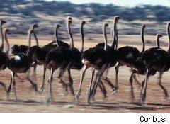 a pack of running ostriches