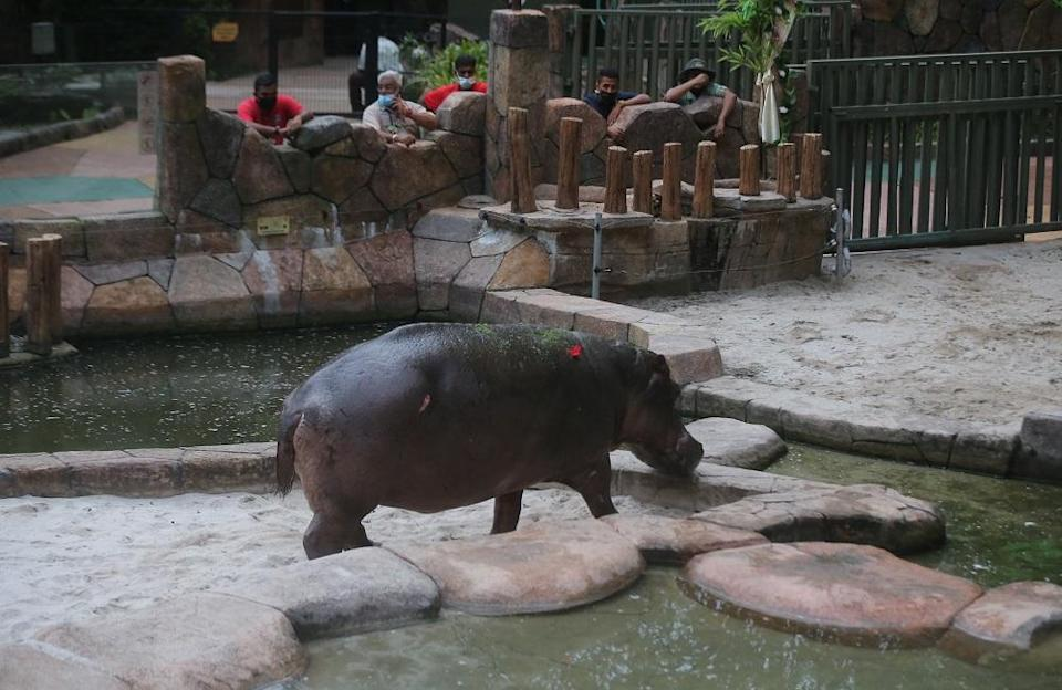 After five years, Lost World of Tambun's female hippopotamus Juwita is finally 'united' with male hippopotamus Jiwang. — Picture by Farhan Najib