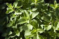 <p>Aside from dashing it all over your Italian dinners, Oregano's bug-repelling properties are one worth harnessing, as it's a repellent to many pests.</p>