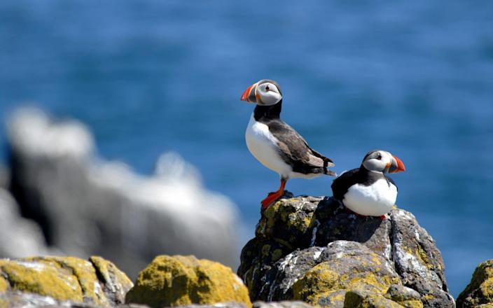 Head to Yorkshire's Bempton Cliffs to see puffins - Getty