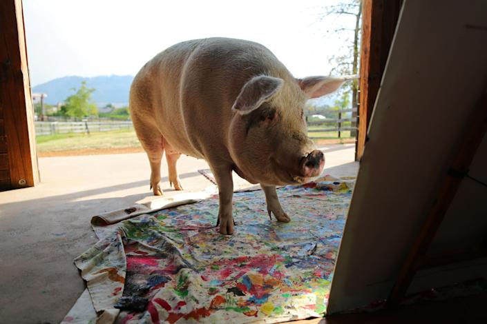Pigcasso, a rescued pig, looks at a canvas after painting at the Farm Sanctuary in Franschhoek, outside Cape Town, South Africa. (Photo: Sumaya Hisham/Reuters)