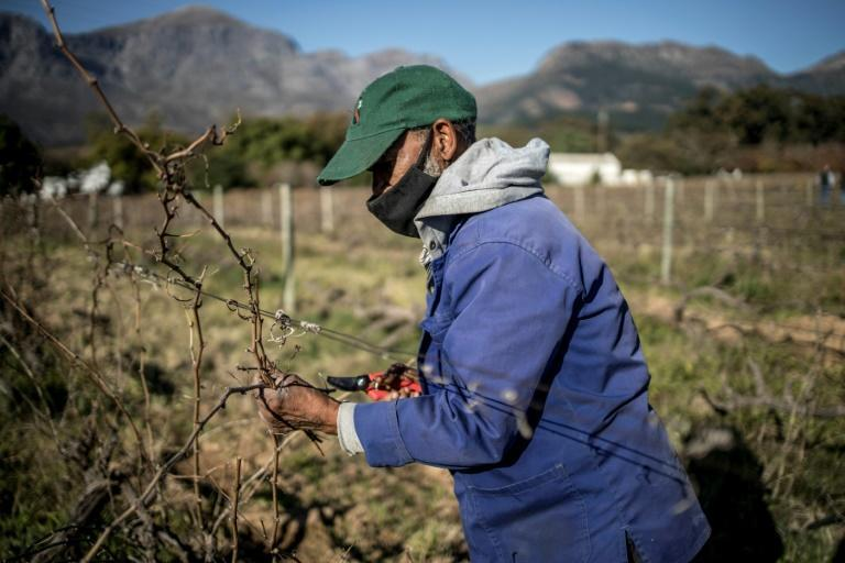 Key industry: South Africa's wine sector employs more than a quarter of a million people