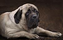 """<p>Though English Mastiffs can seem intimidating in size, these gentle giants tend to be slow-moving and easy-going. According to Mastiff Savvy, these low-energy dogs tend to be a bit lazy, which is why <a href=""""https://mastiffsavvy.com/mastiffs/"""" rel=""""nofollow noopener"""" target=""""_blank"""" data-ylk=""""slk:excessive weight gain is common"""" class=""""link rapid-noclick-resp"""">excessive weight gain is common</a> in this breed. </p>"""