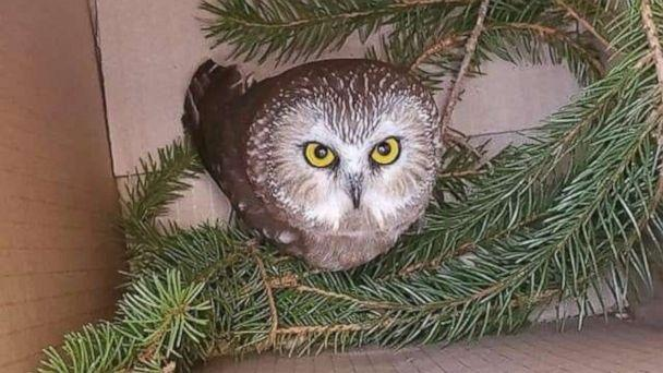 PHOTO: Rockefeller, a northern saw-whet owl, looks up from a box, after being found and rescued in a Christmas tree in Rockefeller Center, in New York, Nov. 16, 2020. (Ravensbeard Wildlife Center via Reuters)