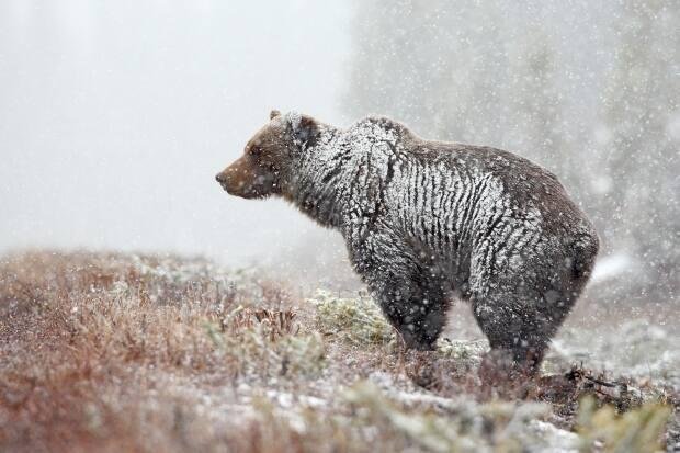 Grizzly bear in a late winter snowstorm.