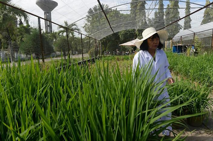 Nguyen Thi Lang walks among new rice varieties she is developing at the Vietnam Rice Research Institute in the southern Mekong delta province of Can Tho (AFP Photo/Hoang Dinh Nam)