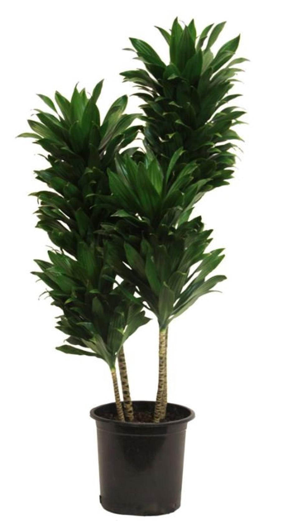 "50"" Janet Craig plant (Photo: Etsy)"
