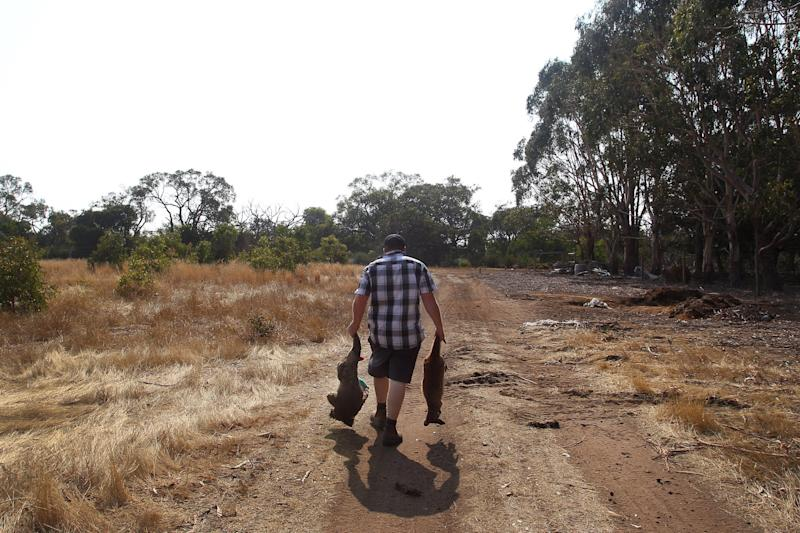 Sam Mitchell owner of the Kangaroo Island Wildlife Park carries a dead koala and kangaroo to a mass grave (Getty Images)