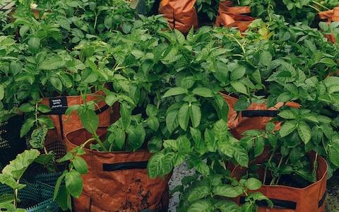 potatoes growing in a bag - Credit: India Hobson