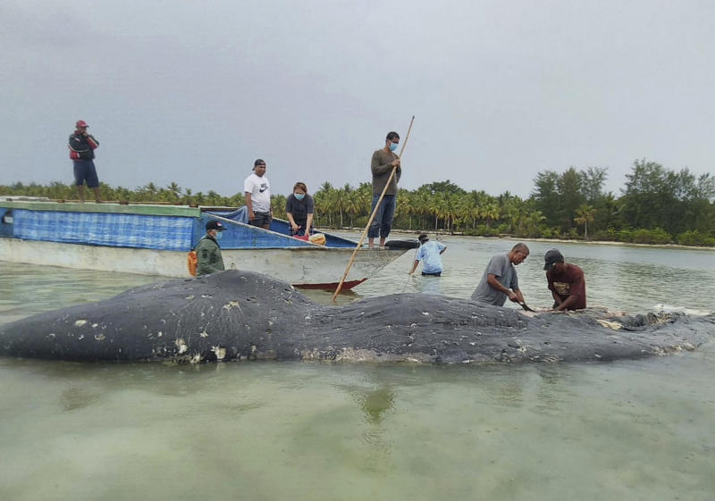 In this undated photo released by Akademi Komunitas Kelautan dan Perikanan Wakatobi (Wakatobi Marine and Fisheries Community Academy or AKKP Wakatobi), researchers collect samples from the carcass of a beached whale at Wakatobi National Park in Southeast Sulawesi, Indonesia. The dead whale that washed ashore in eastern Indonesia had a large lump of plastic waste in its stomach, including drinking cups and flip-flops, a park official said Tuesday, causing concern among environmentalists and government officials in one of the world's largest plastic polluting countries. (Muhammad Irpan Sejati Tassakka, AKKP Wakatobi via AP)