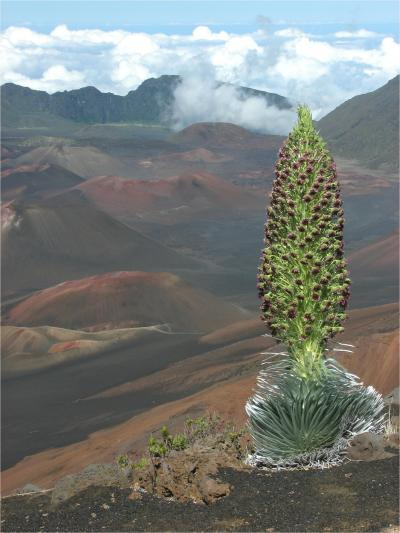 Climate Change Threatens Spectacular Hawaiian Plant