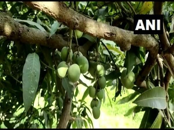 A unique mango tree that has 121 varieties of fruits growing on it. (Photo/ANI)