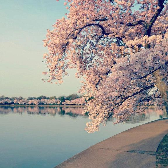 How Cherry Blossoms Came into Budding US Popularity