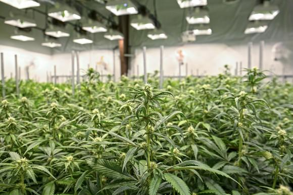 Indoor warehouse with marijuana growing under dozens of lights.