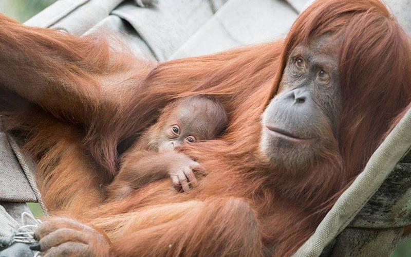 Ombak was born last month to 17-year-old Kila, a Sumatran orangutan that came to the zoo with five other members of her species in 2012 - Zoo Basel