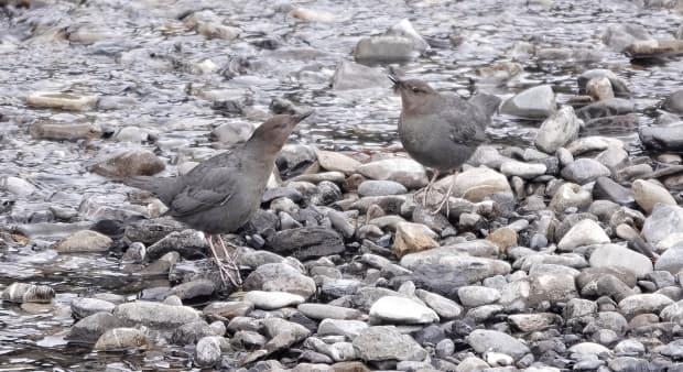 Dippers don't have webbed feet, but they do have long sharp claws, dense plumage and a large preen gland to waterproof their feathers.