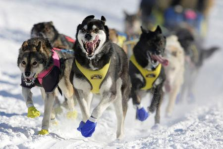 Melissa Stewart's team competes in the official restart of the Iditarod, a nearly 1,000 mile (1,610 km) sled dog race across the Alaskan wilderness, in Fairbanks, Alaska. REUTERS/Nathaniel Wilder