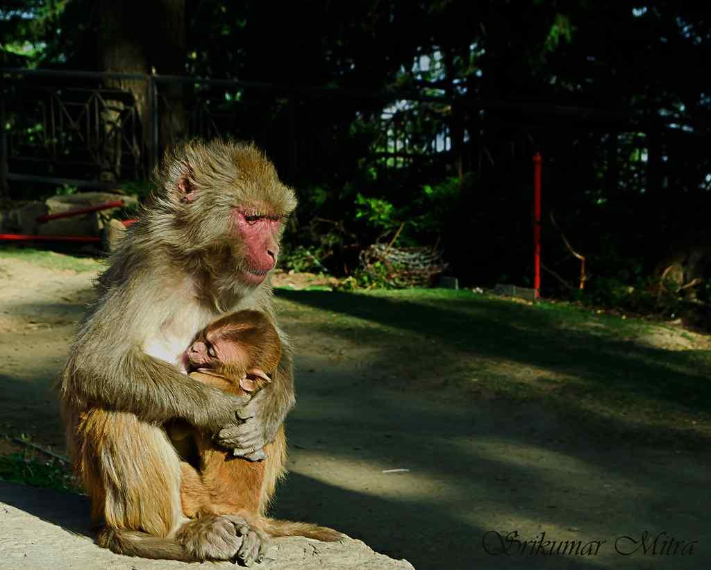 "Safest Haven - A mother Rhesus Macaque with her young near Simla <br>By <a target=""_blank"" href=""http://www.flickr.com/photos/62026955@N03/"">Srikumar Mitra</a>"