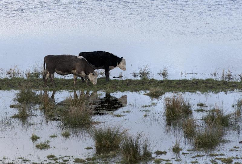 In this photo taken Sunday Feb. 2, 2014, Cattle try to graze amidst the floodwater of the River Parrett near Langport, Somerset England. Here on the Somerset Levels _ a flat, marshy region of farmland dotted with villages and scored by rivers and ditches _ it's often wet. But not this wet. Thousands of acres of this corner of southwest England have been under water for weeks, some villages have been cut off for more than a month, and local people forced to take boats to get to school, work and shops are frustrated and angry. Some blame government budget cuts and environmental bureaucracy. Others point to climate change. Even plump, endangered water voles are the target of ire. (AP Photo/Alastair Grant)
