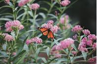 """<p>Looking to make your garden <a href=""""https://www.veranda.com/outdoor-garden/a35815974/pollinator-garden/"""" rel=""""nofollow noopener"""" target=""""_blank"""" data-ylk=""""slk:the life of the party for beneficial pollinators"""" class=""""link rapid-noclick-resp"""">the life of the party for beneficial pollinators</a>? There is something especially exciting about watching butterflies flit and flutter about your beloved blooms, and it all starts with choosing flowers that are rich in plant nectar and pollen. From alyssum to zinnias, there is an abundance of flora to choose from that will allure these beautiful (and beneficial) insects to your garden.</p><p>It's important to know how to responsibly bring pollinators into your garden, however, as using organic materials over pesticides and chemical fertilizers will best protect these creatures–and your household. Additionally, ensuring there's plenty of shade for the pollinators makes your garden even more attractive, and add a special feeder or <a href=""""https://www.veranda.com/outdoor-garden/g27405184/best-outdoor-fountains/"""" rel=""""nofollow noopener"""" target=""""_blank"""" data-ylk=""""slk:outdoor fountain"""" class=""""link rapid-noclick-resp"""">outdoor fountain</a> so they'll return time and again. Read on to discover 18 beautiful flowers to attract these beauties. (Bonus: many <a href=""""https://www.veranda.com/outdoor-garden/g35890310/flowers-that-attract-hummingbirds/"""" rel=""""nofollow noopener"""" target=""""_blank"""" data-ylk=""""slk:attract hummingbirds"""" class=""""link rapid-noclick-resp"""">attract hummingbirds</a> as well!)</p>"""