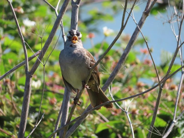 Singing sexy back: How sparrows adapted to Covid-19 shutdown