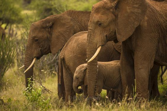 An estimated 415,000 elephants are left in Africa with the species regarded as vulnerable due to poaching ( R.J. Turner/Space for Giants)