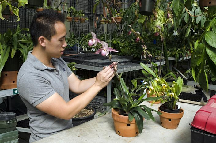"""Brandon Tam, orchid collection specialist at the Huntington Library, pollinates a Paphiopedilum Delrosi in the orchid greenhouse. <span class=""""copyright"""">(Huntington Library)</span>"""