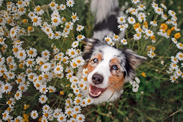 australian shepherd sitting in a field of daisies looking up at the camera