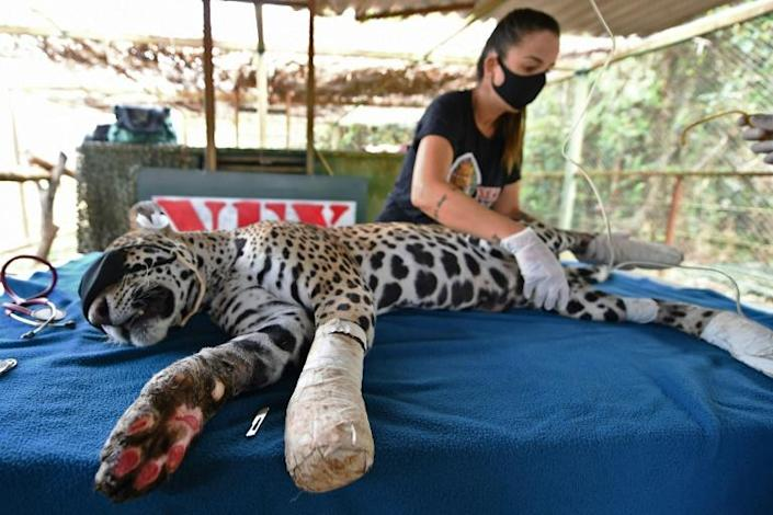 Amanaci, an adult female jaguar that had its paws burnt during fires in Pantanal, recieves stem cell treatment at the Nex Institute NGO, in Corumba de Goias, Goias State, Brazil
