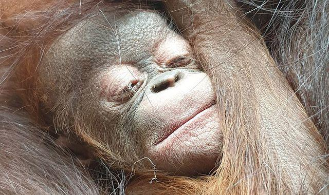 Chester Zoo welcomes surprise orangutan baby after mum returned negative pregnancy tests