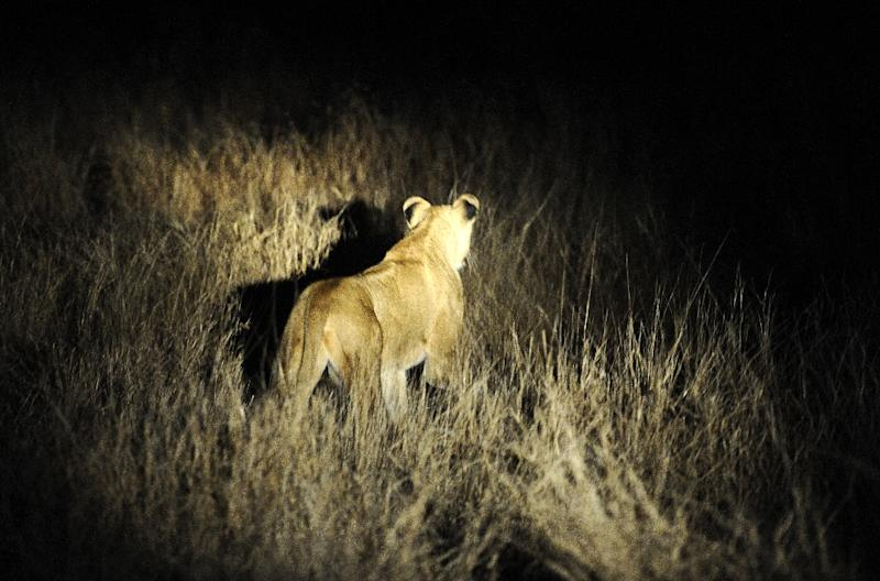 The lions have been spotted roaming around the Foskor phosphate mine outside the town of Phalaborwa on the western boundary of the famed wildlife park, which is fenced in. (AFP Photo/STEPHANE DE SAKUTIN)