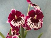 """<p>orchidsbyhausermann.com</p><p><strong>$19.99</strong></p><p><a href=""""https://www.orchidsbyhausermann.com/miltonia-morris-chestnut.html?Session_ID=f8c878dbb8d8a137fba394720b14c197"""" rel=""""nofollow noopener"""" target=""""_blank"""" data-ylk=""""slk:Shop Now"""" class=""""link rapid-noclick-resp"""">Shop Now</a></p><p>Miltonia varieties of orchids are also another great low light option that offers a blooming flower in the spring. The rich pink hues and organic veining on this Chestnut orchid (also known and a pansy or waterfall orchid) make for an indoor stunner. Orchids shouldn't be watered until the soil is dry for about a 1 inch depth, approximately one week to a week and half.</p>"""