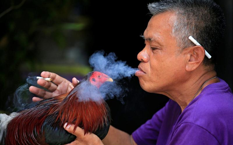 A man blows cigarette smoke on his fighting cock at the backyard of his house in Paranaque city, metro Manila - REUTERS