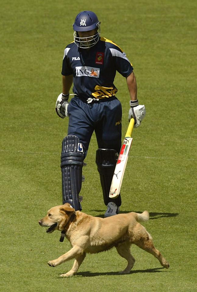 SYDNEY, AUSTRALIA - OCTOBER 26:  A pitch invading Labrador accompanies Jon Moss of the Bushrangers to the crease during the ING Cup match between the NSW Speedblitz Blues and the Victoria Bushrangers at Bradman Oval October 26, 2003 in Bowral, Australia.  (Photo by Daniel Berehulak/Getty Images)