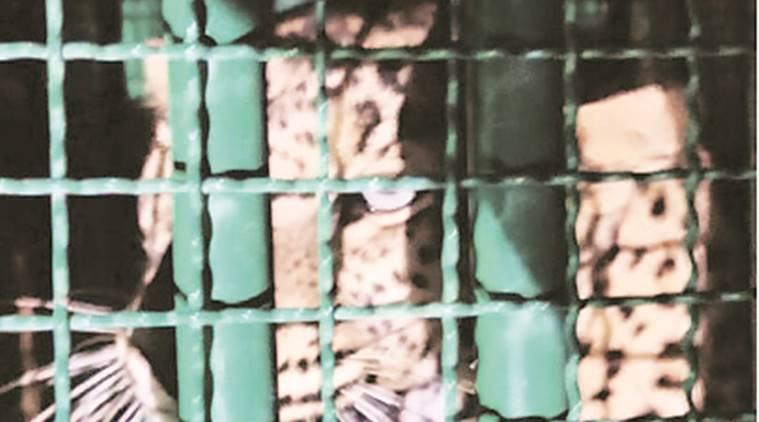 Gujarat: 11 leopards caged after they kill 8 persons in Junagadh and Amreli