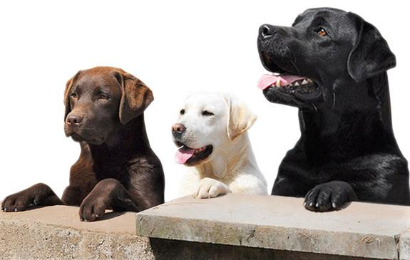 A new health database aims to track the health of Labrador retriever puppies as they grow.