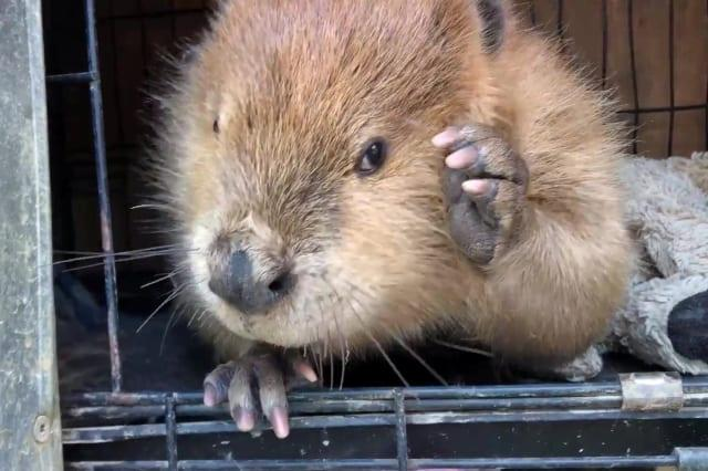 Meet Justin Beaver an adorable educational animal who spent two years living a domesticated life with his carer and regularly steals her belongings to build dams