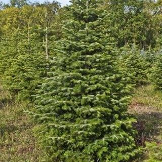 Nordmann fir Christmas tree - Credit: British Christmas Tree Growers Association