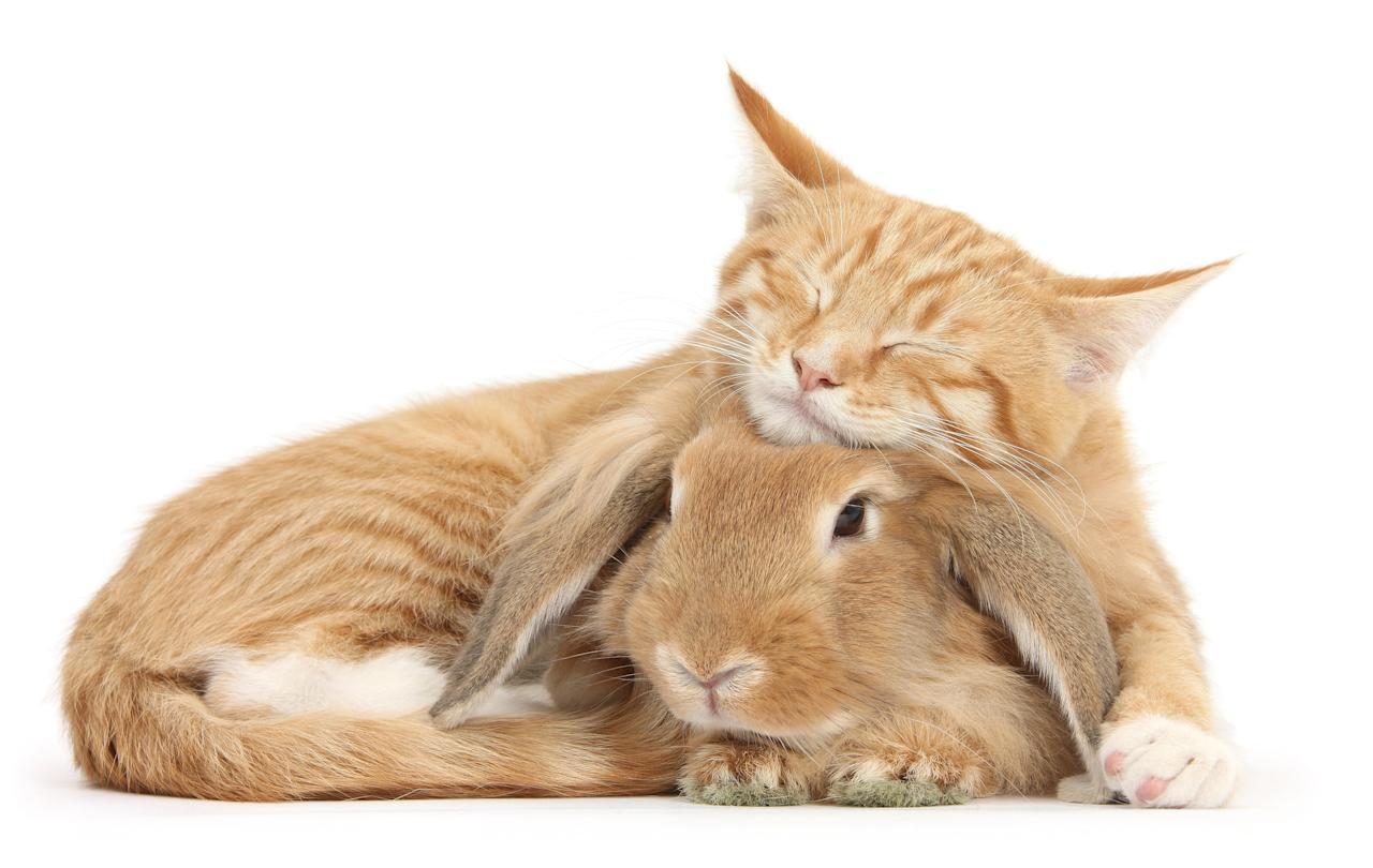 <p>Sleepy ginger kitten, Tom, 3 months old, lounging on Sandy Lionhead-Lop rabbit. (Photo: Warren photographic/Caters News) </p>