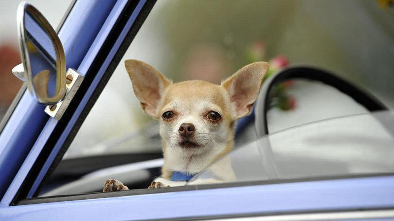 A chihuahua that isn't Prancer waiting in a car, yearning for its own viral internet fame.