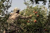 This pomegranate season comes as Afghanistan finds itself engulfed in multiple crisis following the Taliban takeover (AFP/Javed TANVEER)