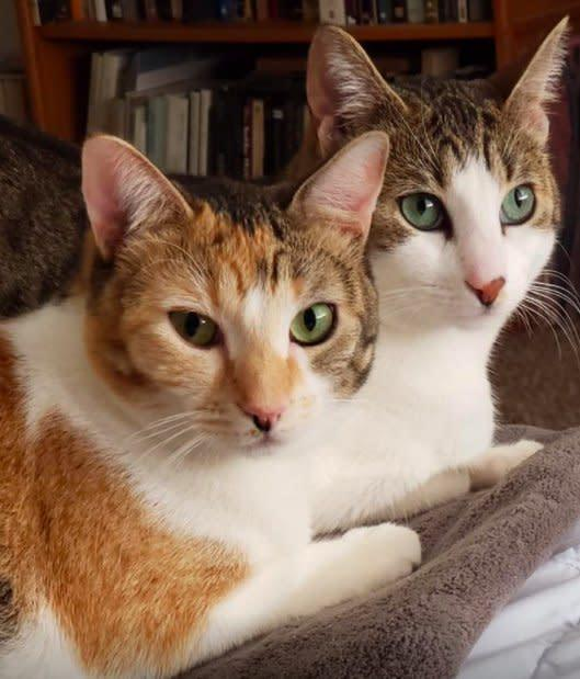 Two white and brown cats look at a camera