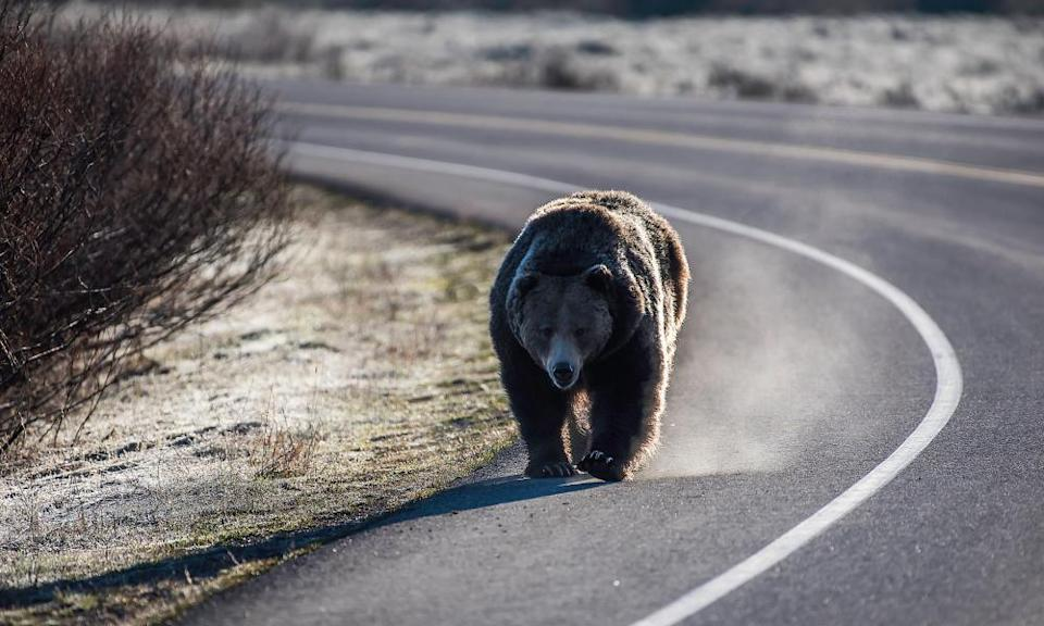 Grizzly populations have grown since they came under the protection of the Endangered Species Act.