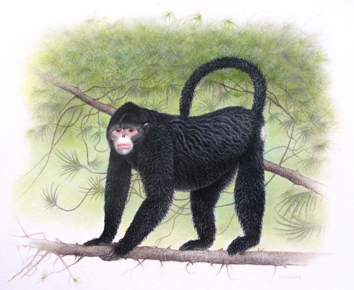 "In this undated image provided by Fauna & Flora International, a monkey with ""Elvis"" hairdo is seen. It was discovered in Myanmar in 2010. A psychedelic gecko and the monkey sporting an Elvis-like hairstyle are among 208 new species described last year by scientists in the Mekong River region of Southeast Asia, a conservation group announced Monday, Dec. 12, 2011. (AP Photo/Fauna & Flora International, Martin Aveling) EDITORIAL USE ONLY"