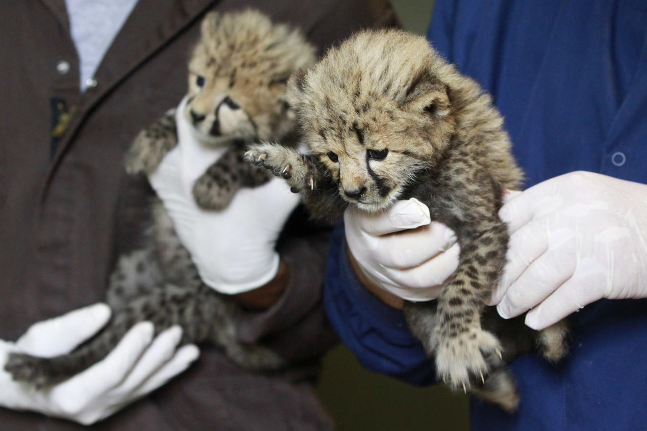 A one-month-old female cheetah cub, left, delivered via a rare caesarian section, and her brother, right, delivered naturally but then abandoned by their mother, are held by their keepers after a feeding at the National Zoo in Washington, Wednesday, May 23, 2012. (AP Photo/Jacquelyn Martin)