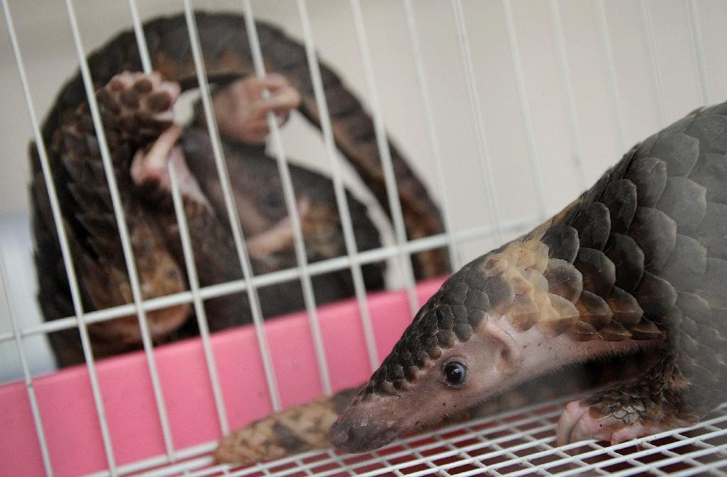 A rescued pangolin rests in a cage as another hangs outside at the customs department in Bangkok (AFP Photo/Christophe Archambault)