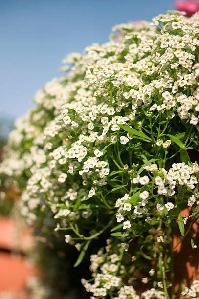 """<p>This sweetly-scented annual is incredible for long-season color all the way from spring until the first heavy frost. They come in many different sizes, but they're gorgeous tumbling over a wall or out of planters and window boxes. If you're planting sweet alyssum, know that it needs full sun.</p><p><a class=""""link rapid-noclick-resp"""" href=""""https://www.provenwinners.com/plants/lobularia/white-knight-sweet-alyssum-lobularia-hybrid"""" rel=""""nofollow noopener"""" target=""""_blank"""" data-ylk=""""slk:SHOP SWEET ALYSSUM"""">SHOP SWEET ALYSSUM</a></p>"""