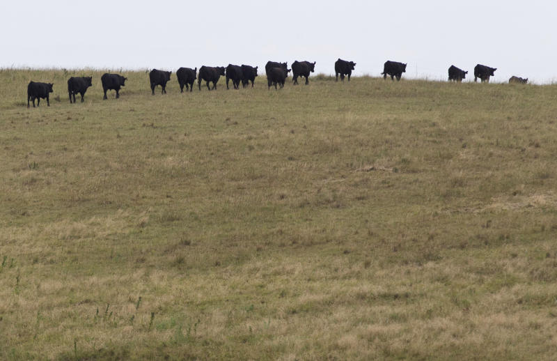 In this photo from Aug. 1, 2012, cattle belonging to Todd Eggerling, of Martell, Neb., walk single-file through thin pasture to a water source beyond the hill. Due to the summer's record drought and heat his cattle operation is in bad shape. Eggerling would normally graze his 100 head of cattle through September, but the drought has left his pastureland barren. He's begun using hay he had planned to set aside for next year's cattle, and is facing the reality that he will have to sell the cattle for slaughter early at a loss. (AP Photo/Nati Harnik)