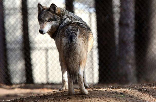 PHOTO: In this April 11, 2018, file photo, a gray wolf stands at the Osborne Nature Wildlife Center south of Elkader, Iowa. (Dave Kettering/Telegraph Herald via AP, FILE)